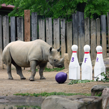 Spare an evening to help a species at Bowling for Rhinos