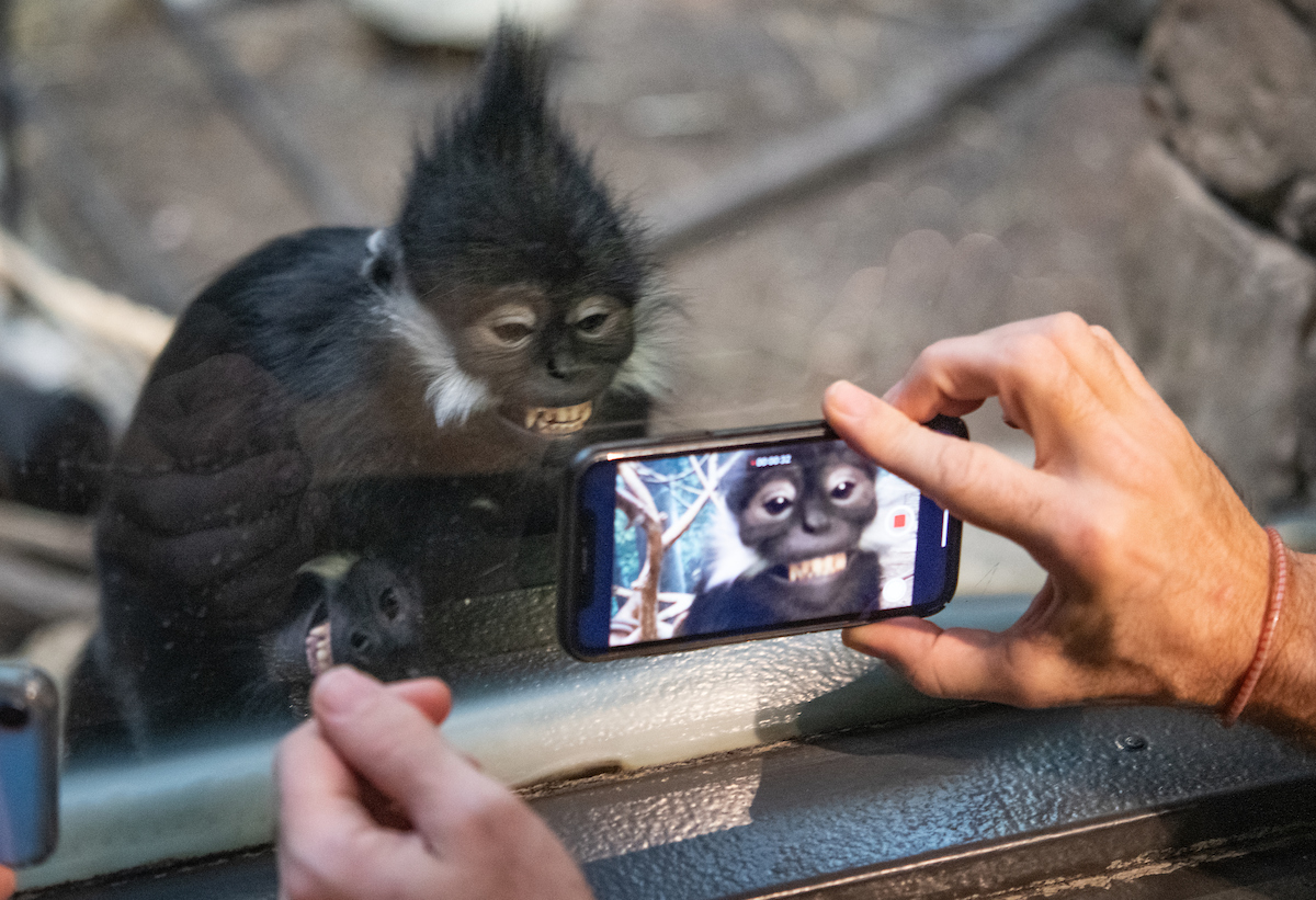 Francois langur monkeys