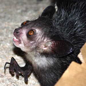 Cleveland Metroparks Zoo introduces its first-ever aye-aye