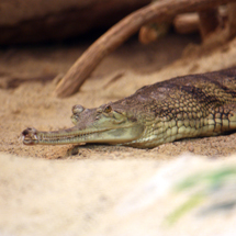 Cleveland Metroparks Zoo welcomes two critically endangered gharials to The RainForest