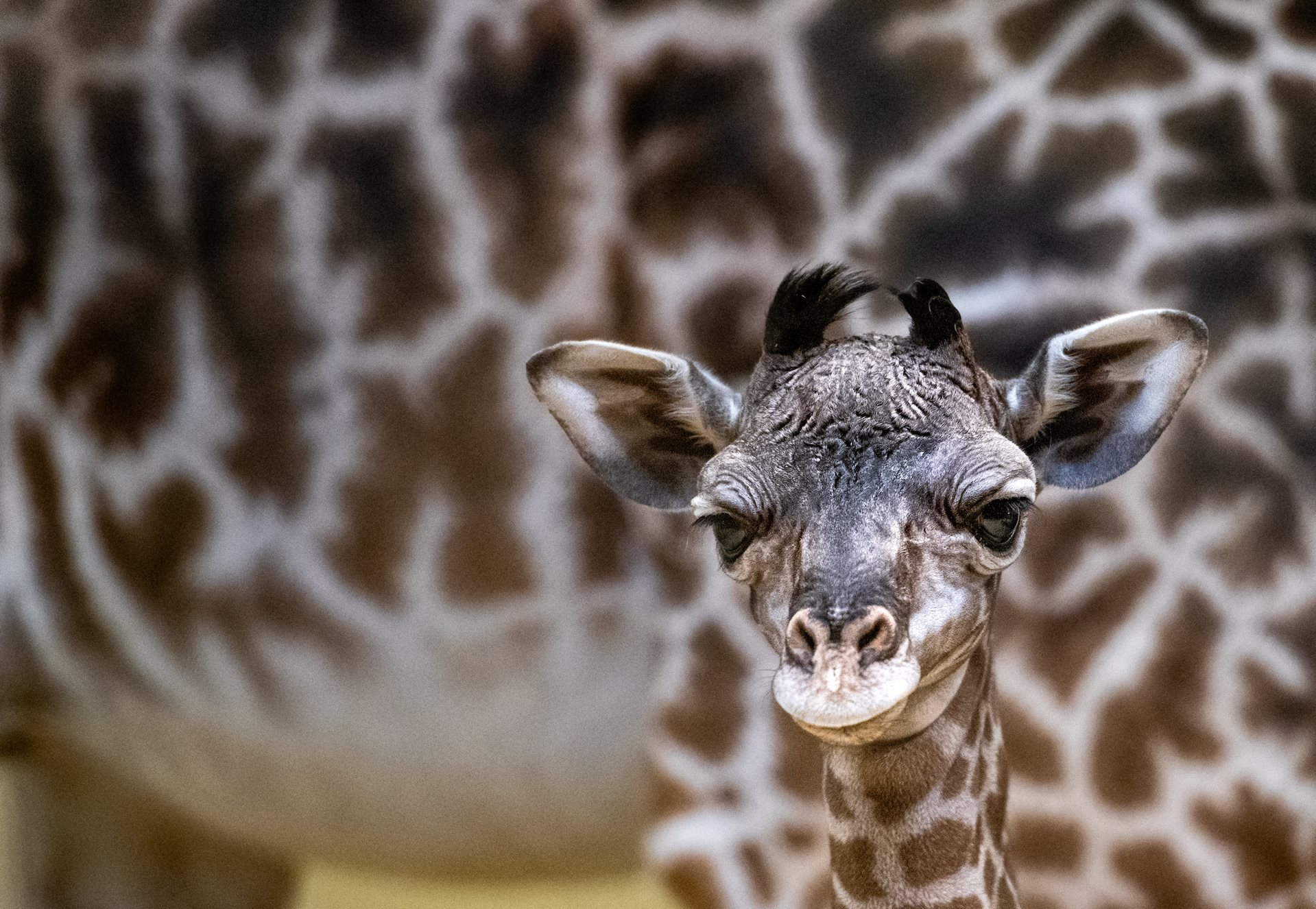 Cleveland Metroparks Zoo Welcomes New Giraffe Calf