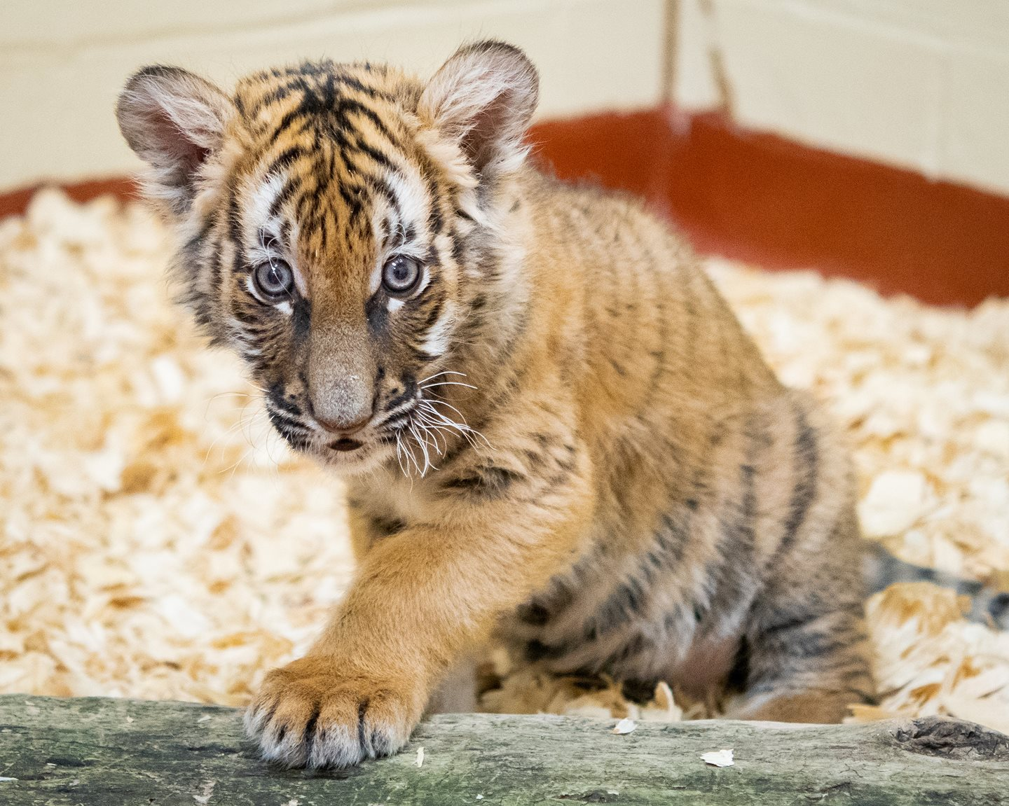 Cleveland Metroparks Zoo Welcomes Malayan Tiger Cub from Tulsa Zoo
