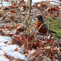 Robins in the Winter?