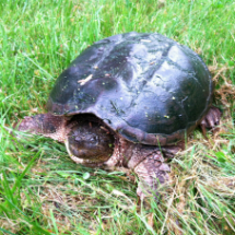Is this a native snapping turtle?