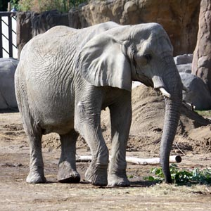 Cleveland Metroparks Zoo saddened by death of African elephant