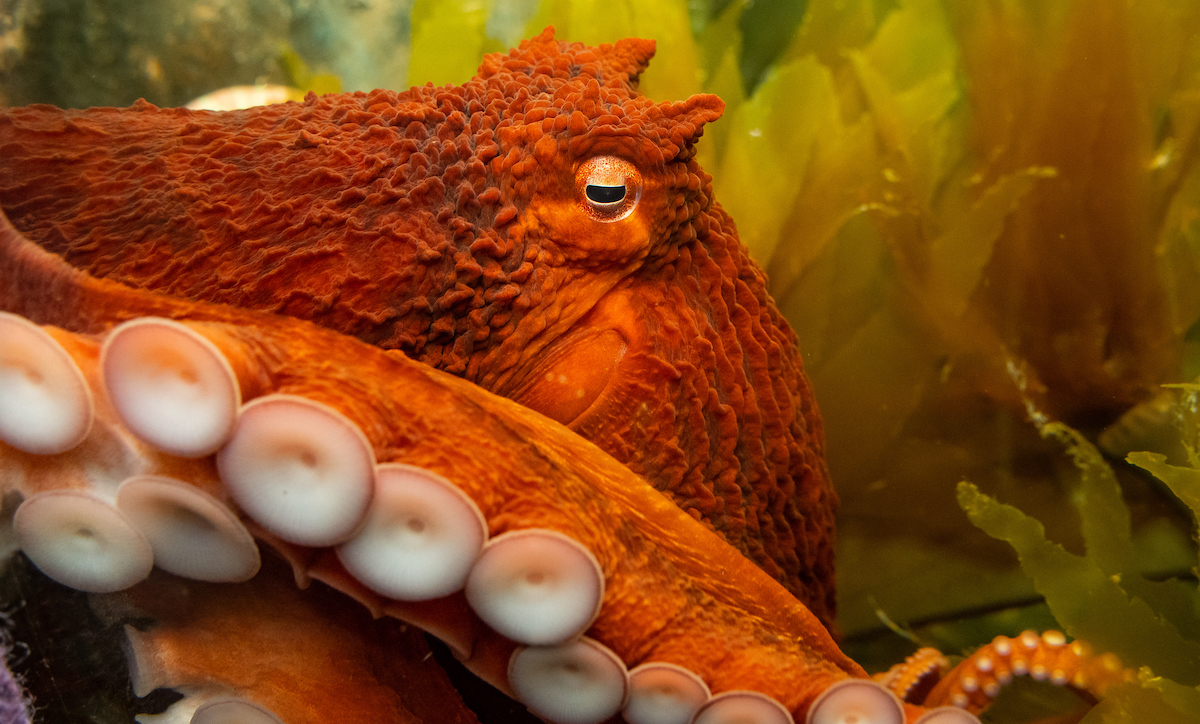 Meet the Giant Pacific Octopus