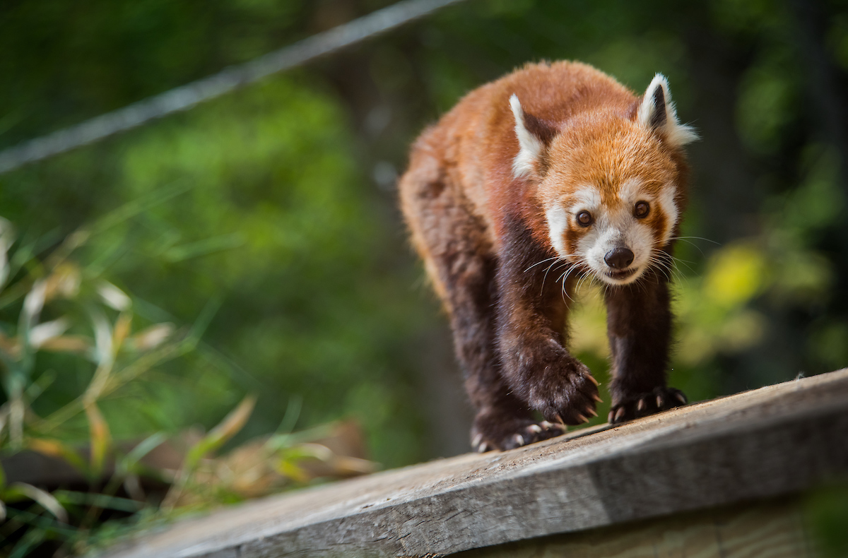 Red pandas in Asian Highlands