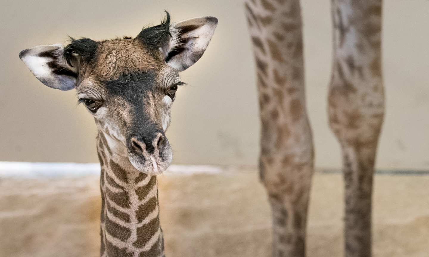 African Masai Giraffe Calf Born at Cleveland Metroparks Zoo  Highlights Wildlife Conservation Efforts