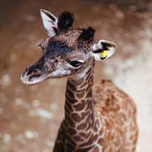 Baby giraffe born at Cleveland Metroparks Zoo