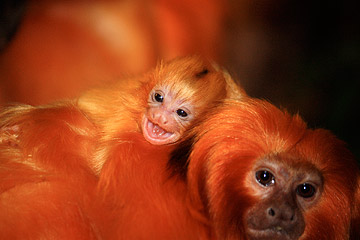 Cleveland Metroparks Zoo Announces Birth of Two Endangered Golden Lion Tamarins