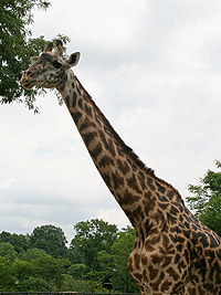 Cleveland Metroparks Zoo Saddened by Death of Giraffe