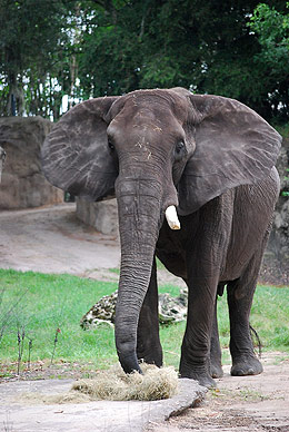 African Bull Elephant Willy arrives at Cleveland Metroparks Zoo