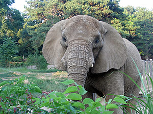Cleveland Metroparks Zoo Welcomes Shenga  To African Elephant Crossing