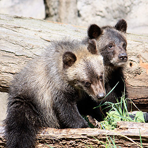Grizzly Bear Cubs Make Their Debut at Cleveland Metroparks Zoo