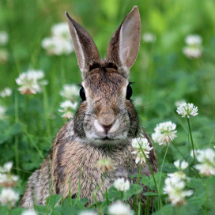 Eastern Cottontail: The Prey