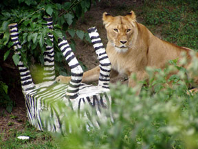 Lion with a toy zebra