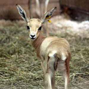 Baby slender-horned gazelle born at Cleveland Metroparks Zoo