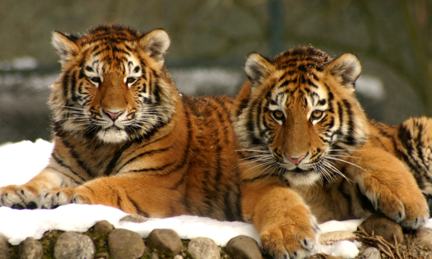 Take Action: Amur Tiger Service Project