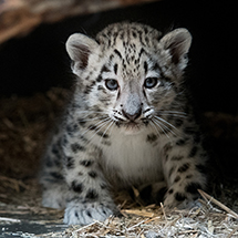 Snow Leopard Cub Makes Debut at Cleveland Metroparks Zoo