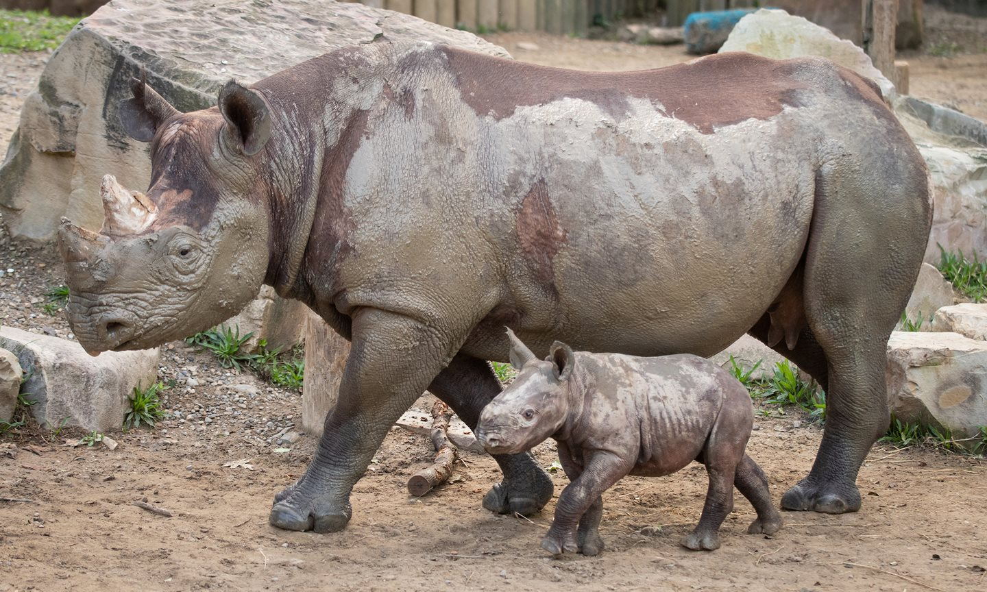 It's a Girl! Cleveland Metroparks Launches Naming Opportunity for New Rhino Calf