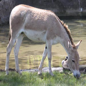 Persian onagers make first-ever debut at Cleveland Metroparks Zoo