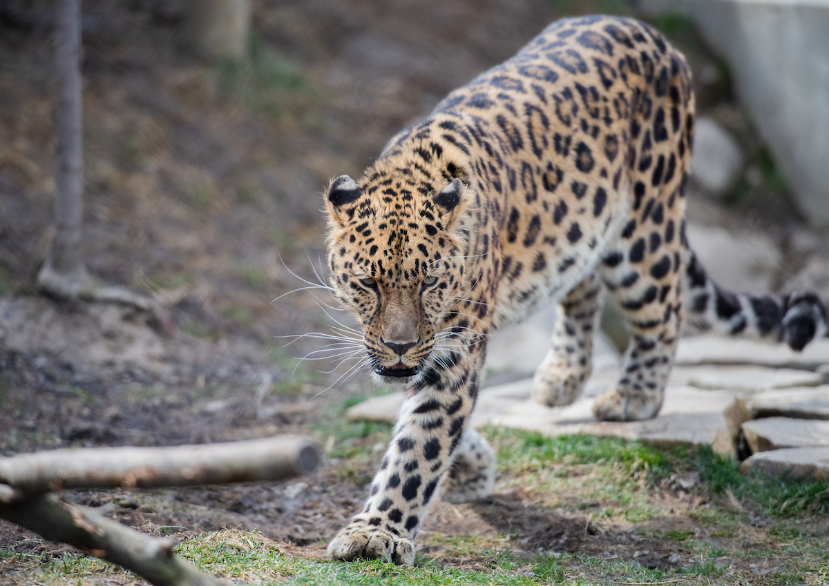 Meet Edgar, the Amur leopard!
