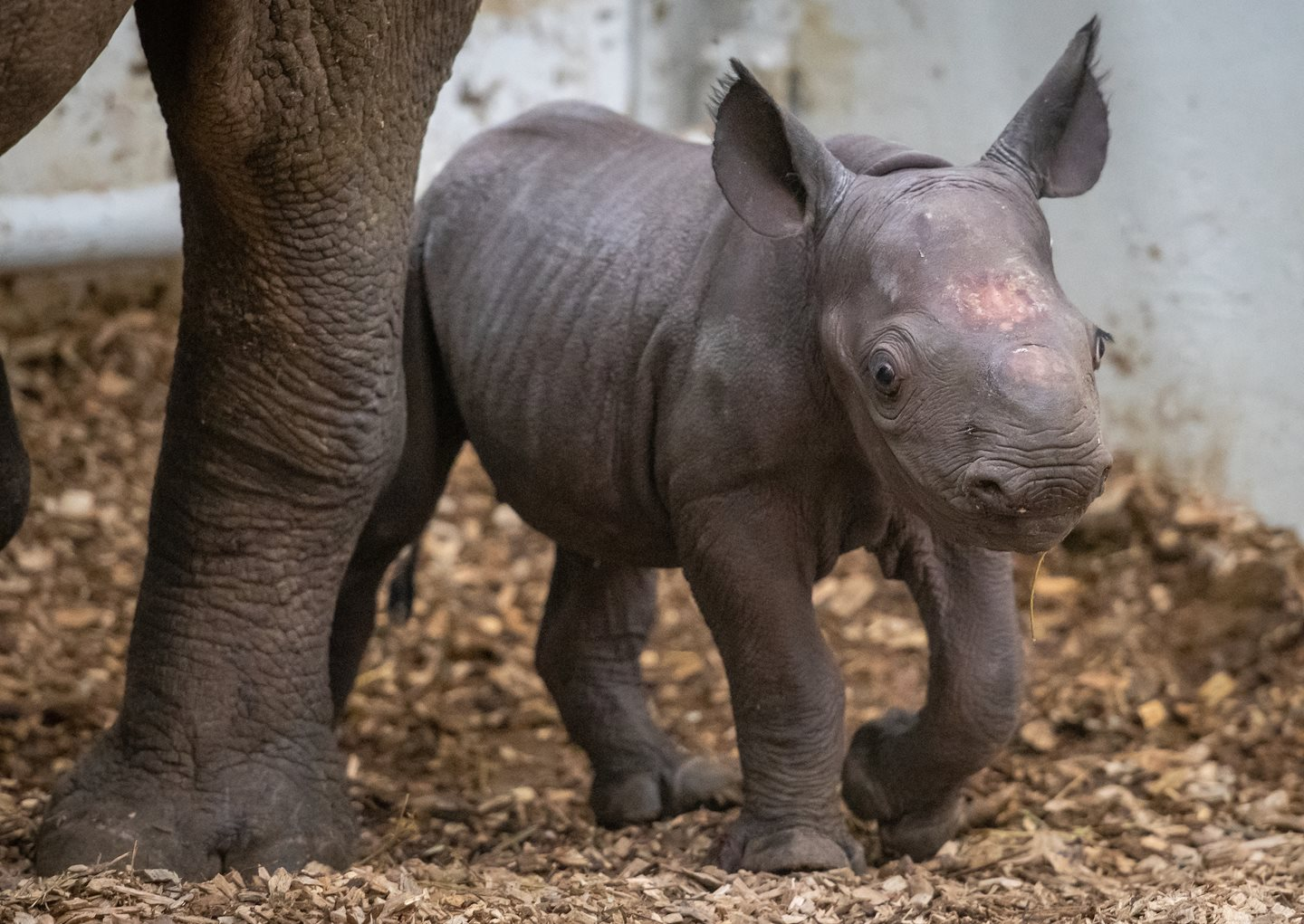 Cleveland Metroparks Zoo Announces Birth of Eastern Black Rhino Calf