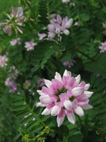 Crown Vetch flower