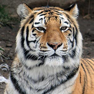 Cleveland Metroparks Zoo tiger arrives safely in Evansville, Indiana
