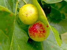 All About Galls