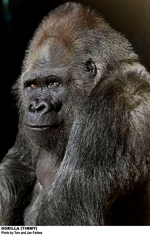 Cleveland Metroparks Zoo saddened by loss of former gorilla resident, Timmy