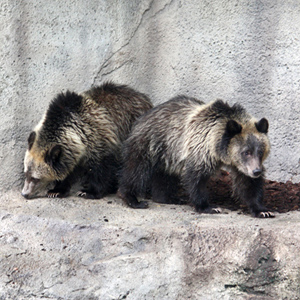 Orphaned Wyoming Grizzly Cubs Debut at Cleveland Metroparks Zoo Today