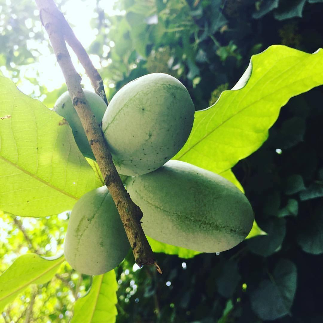 Pawpaws: Ohio