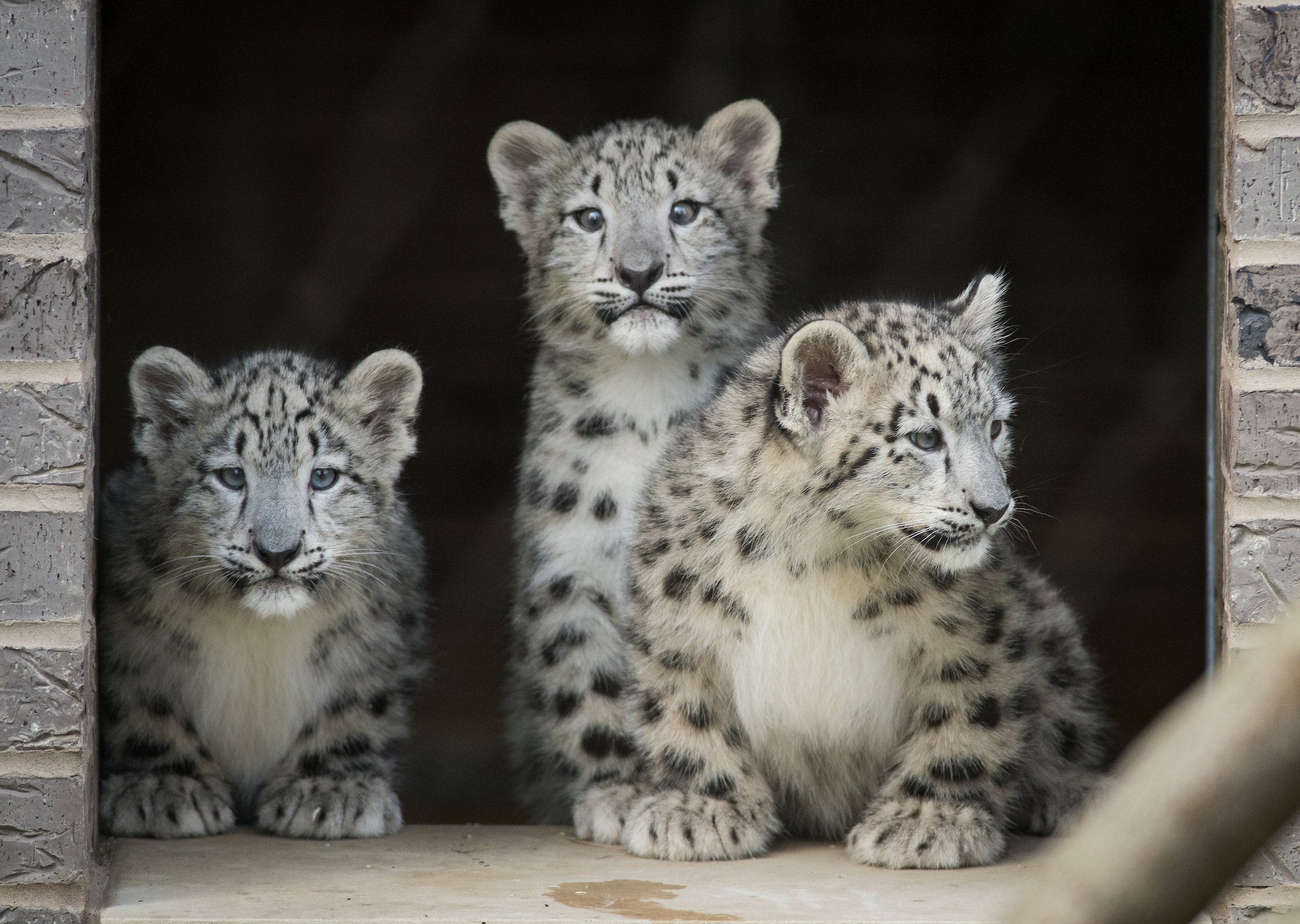Cleveland Metroparks Zoo Announces Naming Opportunity for Snow Leopard Triplets