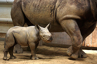 Rare Eastern Black Rhinoceros Born at Cleveland Metroparks Zoo