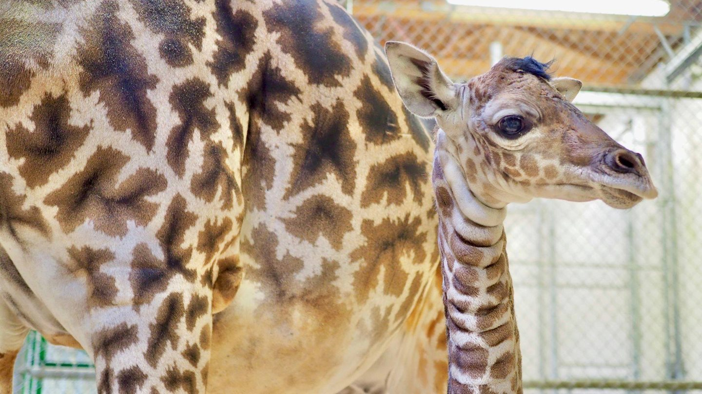 It's a Boy! Cleveland Metroparks Zoo Announces Naming Opportunity for Giraffe Calf
