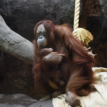 Baby orangutan goes on exhibit in The RainForest at Cleveland Metroparks Zoo
