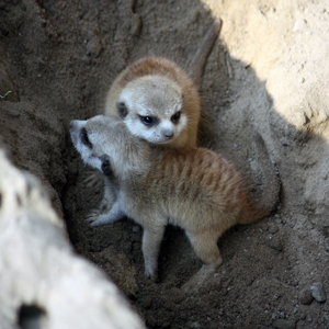 Meerkat kits born at Cleveland Metroparks Zoo