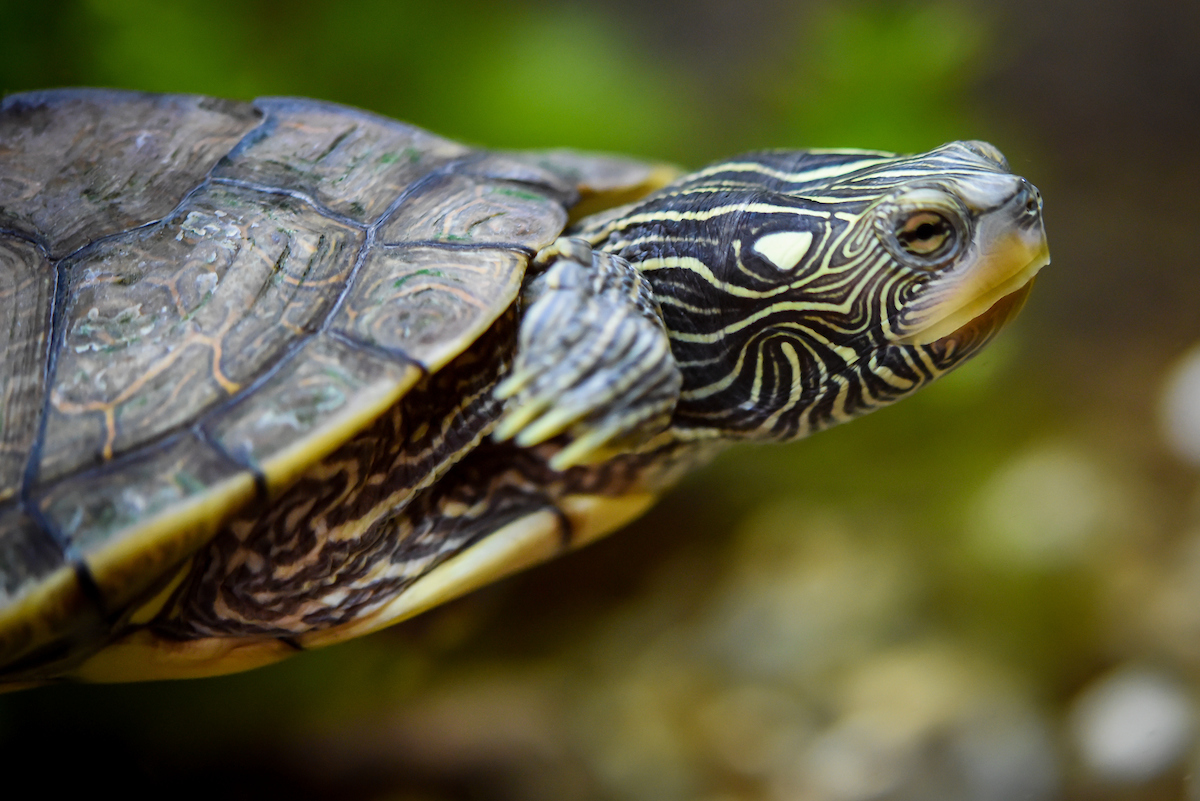 Meet the turtles at North Chagrin Nature Center