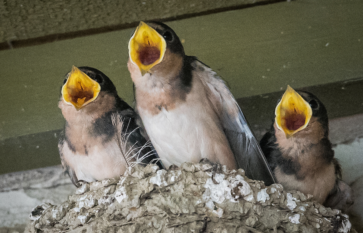 All about swallows