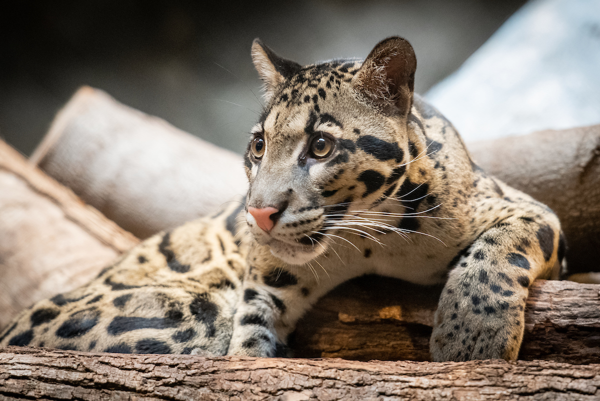 Clouded leopards