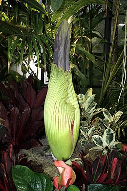 Rare Plant to Bloom Soon at Cleveland Metroparks Zoo