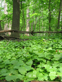 Lesser Celandine Covering the forest floor