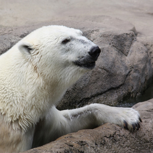Bundle up for Polar Bear Days at Cleveland Metroparks Zoo