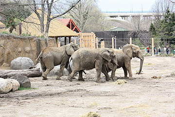 African Elephant Crossing opens Thursday at Cleveland Metroparks Zoo
