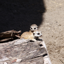 Cleveland Metroparks Zoo welcomes baby meerkats, howler monkey and its first-ever birth of an endangered crowned lemur
