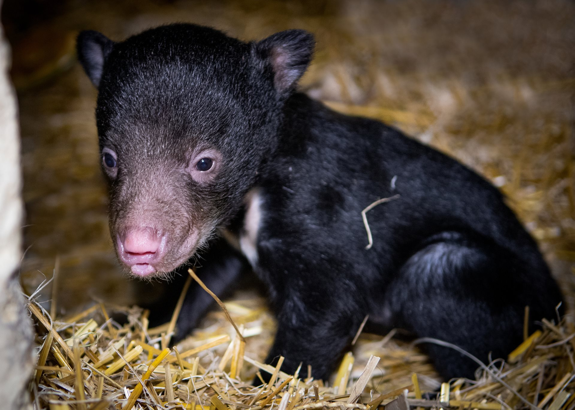 Image result for cleveland zoo baby sloth bear