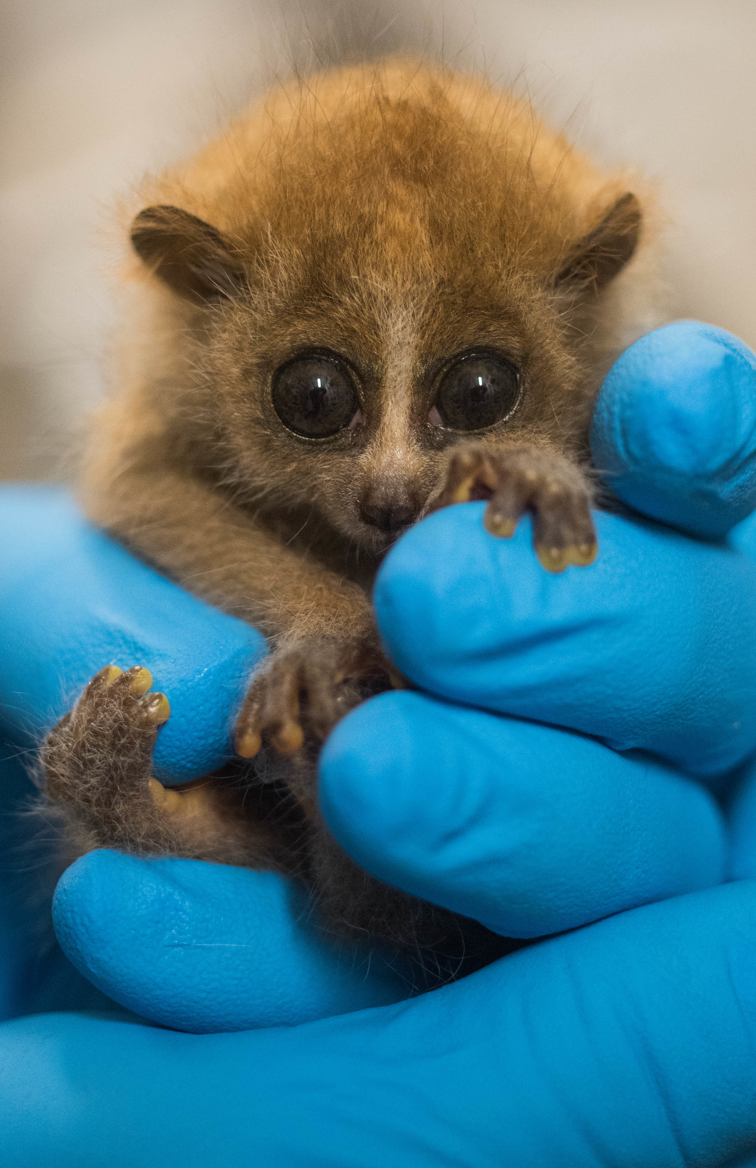 Baby pygmy slow loris born at Cleveland Metroparks Zoo