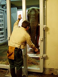 Zoo staff weighing an elephant