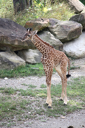 Cleveland Metroparks Zoo Giraffe Calf is on Exhibit